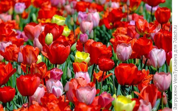 Цветут тюльпаны разных сортов на одной клумбе.