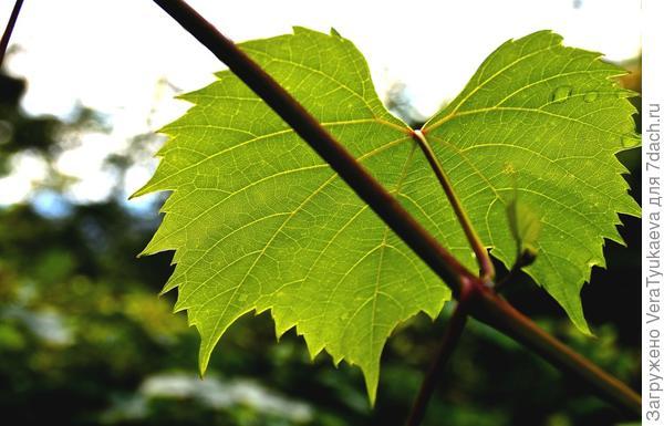 Лист винограда.