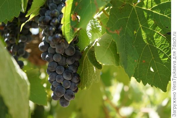 Красивая гроздь.