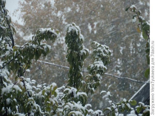 Снег облепил зеленые листья.