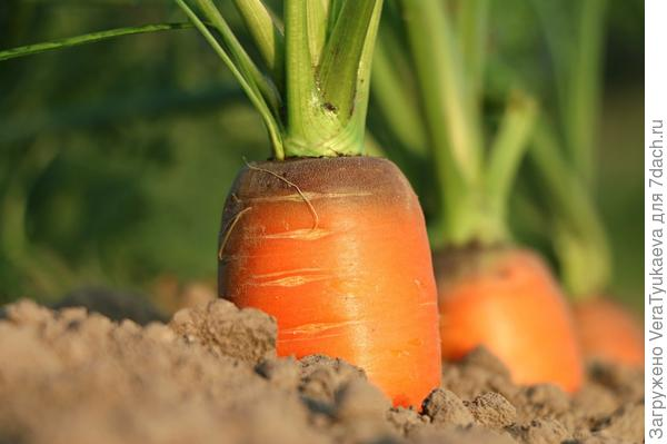 Морковь на грядке.