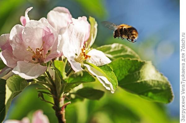 Пчелка летит опылять цветок.