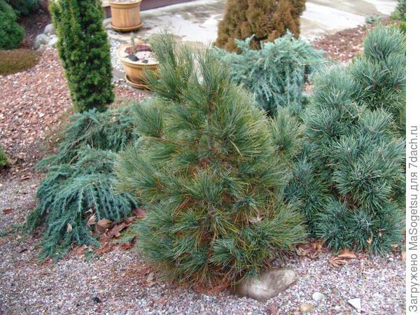 Pinus peuce Griseb (сосна балканская)