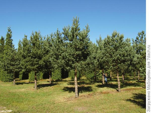 Pinus sylvestris (сосна обыкновенная)