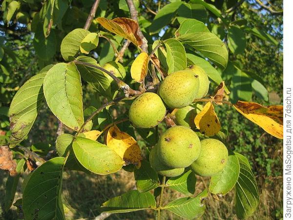 Грецкий орех – дерево жизни.