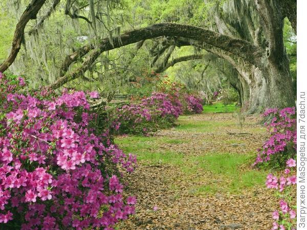 Сад с цветущими азалиями