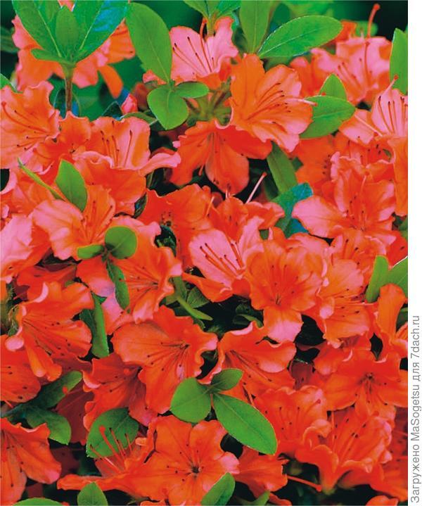 Азалия японская (Azalea japonica)  Geisha Orange