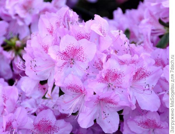 Азалия японская (Azalea japonica) Ledikanense