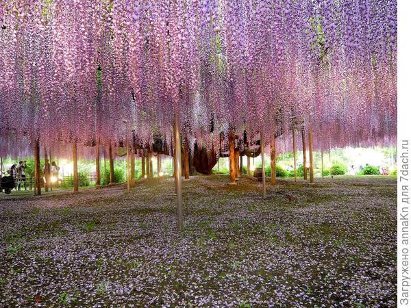 Многоцветковая глициния (Wisteria floribunda)