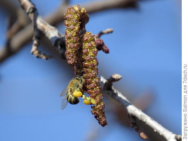 Пчела на ольхе. Фото с сайта beebazar.ru