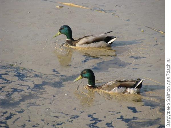 Пыльца ольхи на воде. Фото с сайта panoramio.com