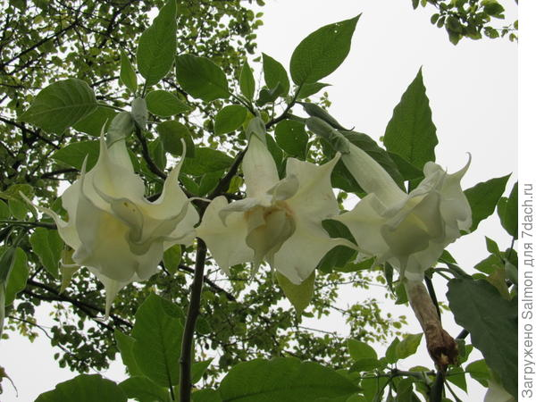 Brugmansia x candida Double White