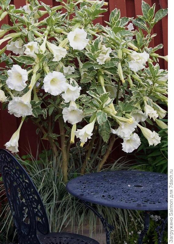 Brugmansia suaveolens Variegata