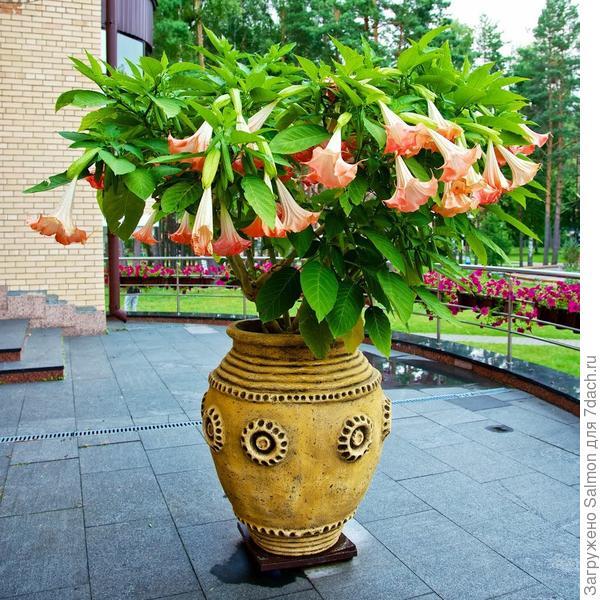 Бругмансия в озеленении. Фото с сайта panoramio.com