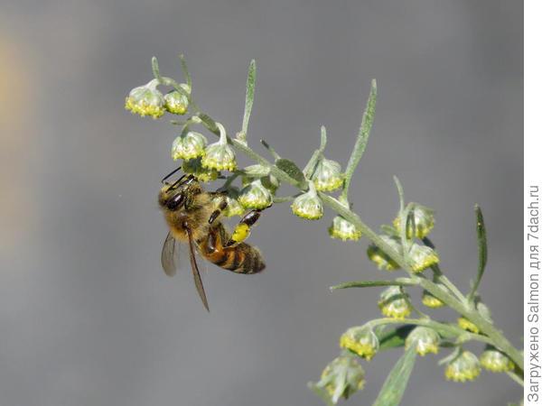 Пчела на полыни. Фото с сайта beebazar.ru