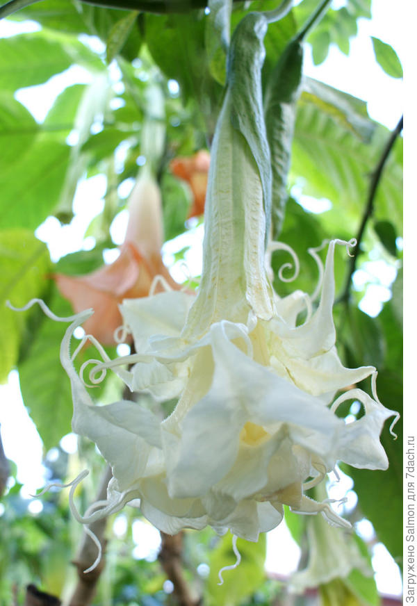 Brugmansia Summer magic