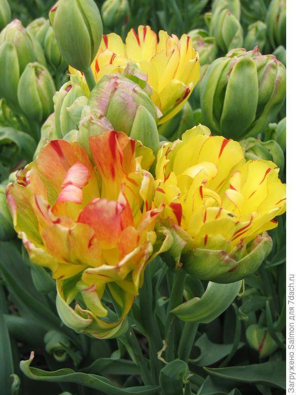 Тюльпан Fruitcocktail