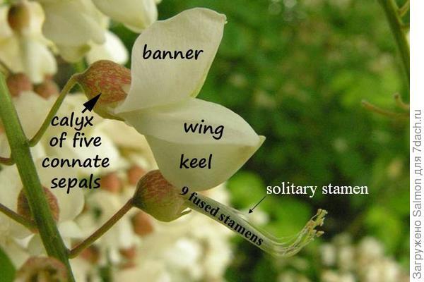 Цветок акации