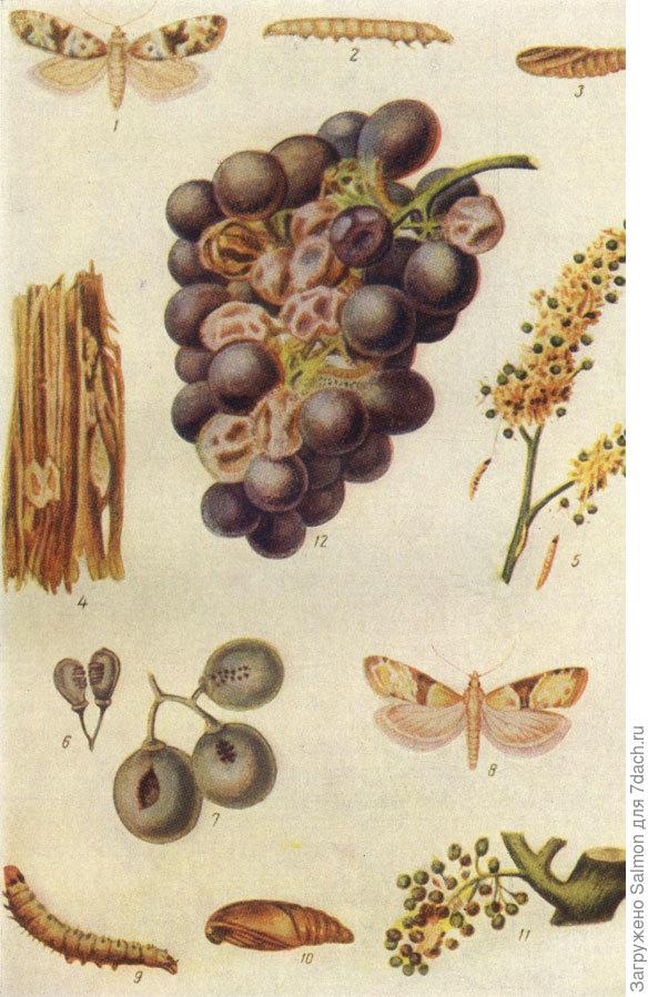 Двулётная листовертка, гроздевая листовёртка