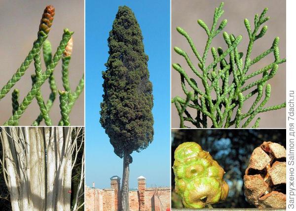 Кипарис вечнозелёный
