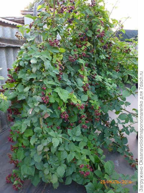 Это наш Дойл, ягоды необыкновенной красоты, вкусные, но с легкой кислинкой.