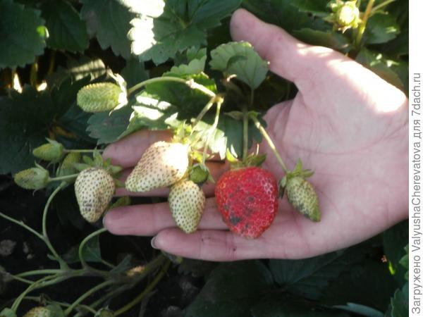 Те же семена от Елизаветы 2, но уже другой формы ,другого вкуса ягод и по плотности разные.