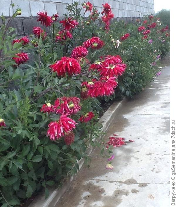 георгины цветут