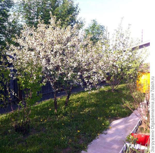 яблоньки весной