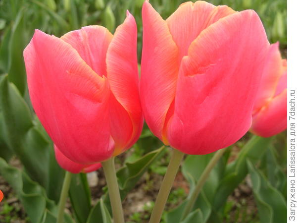 Тюльпан сорт Handley