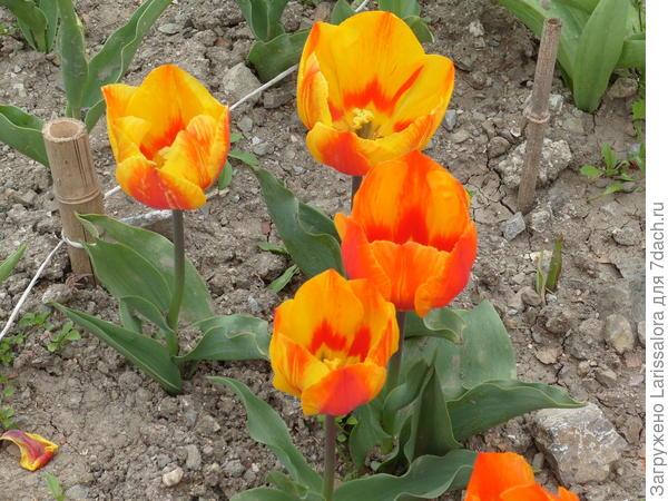 Тюльпан сорт Flair