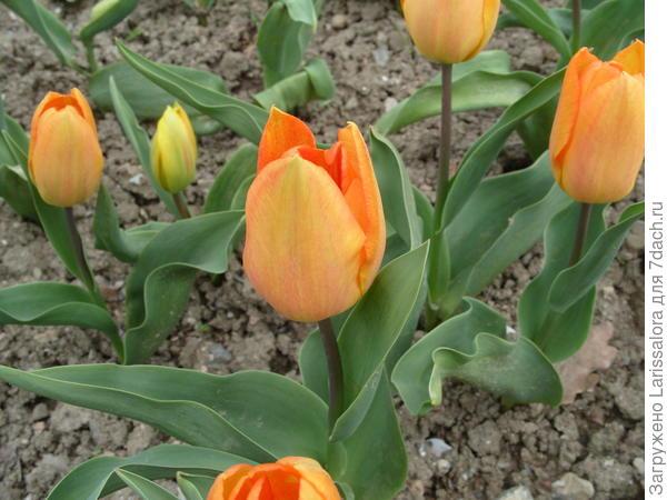 Тюльпан сорт General de Wet
