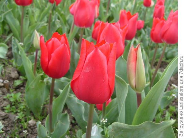Тюльпан сорт Ruby Red