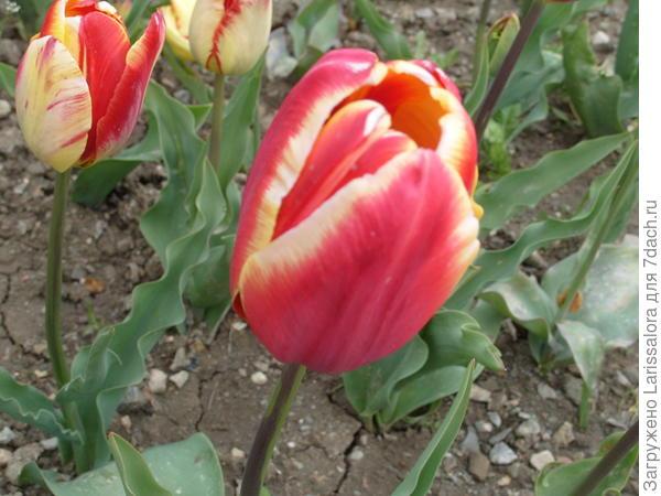 Тюльпан сорт Madame Spoors