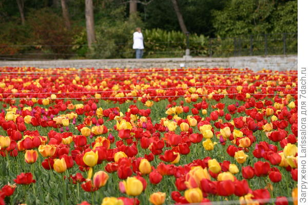 Цветут тюльпаны Дарвиновы гибриды