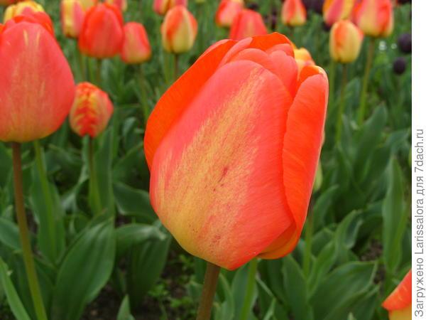 Тюльпан сорт Orange Queen