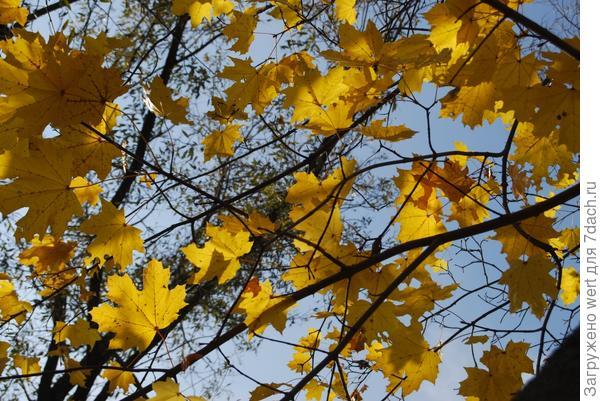 Кленовые листья желтые осенью janlight
