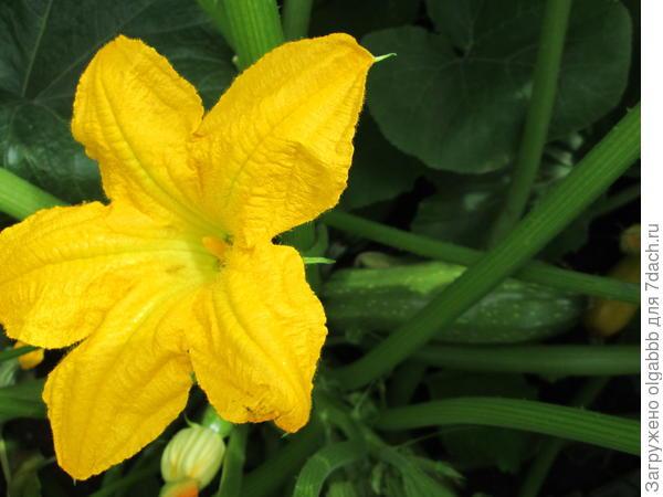 кабачок цветет