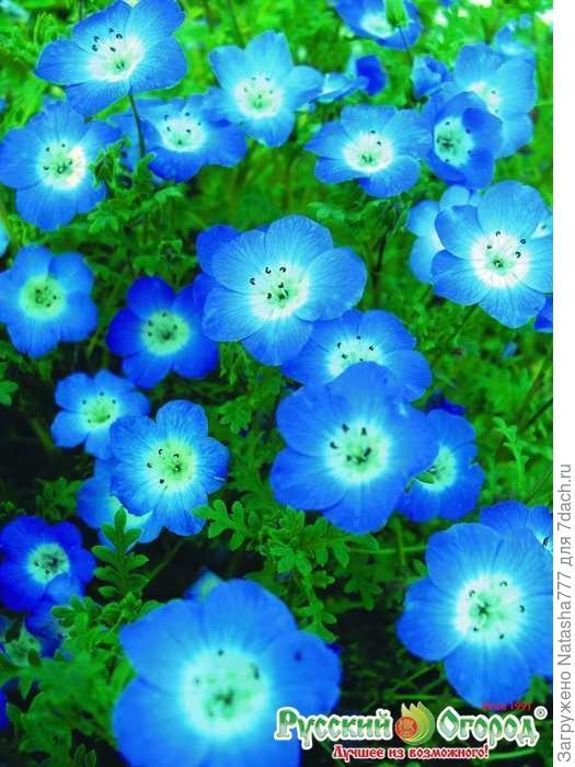 Голубая немофила