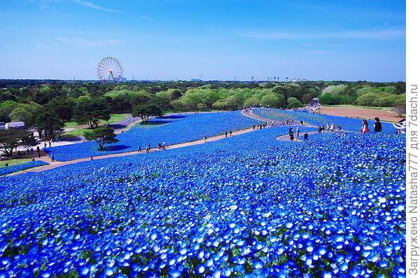 поле из голубой немофилы