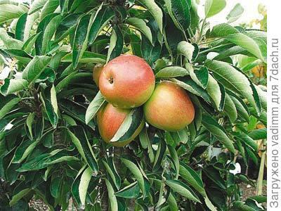 Колоновидные яблони отзывы