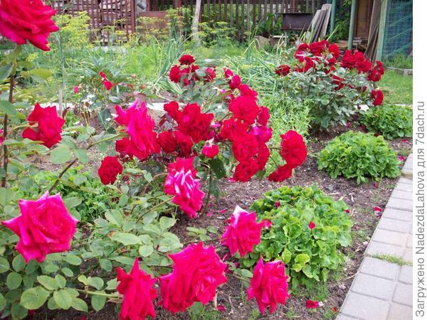 низкие розы