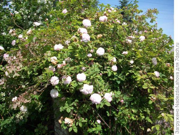 чуть розовая роза без шипов