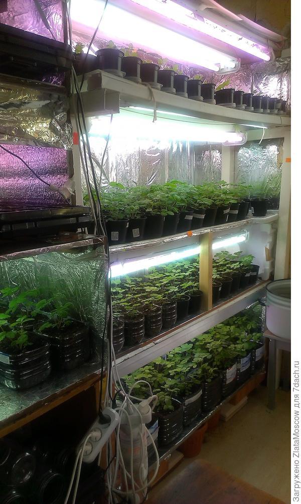 Земляника из семян. Посев 02 января и 02 февраля. Сорта мелкоплодные. Подсветка фито-лампами и люминками.