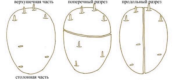 Кольцевой надрез клубня. Фото с сайта ya-fermer.ru