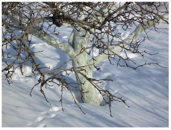 Побеленное дерево зимой, фото с сайта http://gardening3.ru, автор Александр