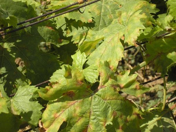 Милдью на листьях винограда