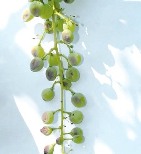 Заболевшие милдью ягоды винограда