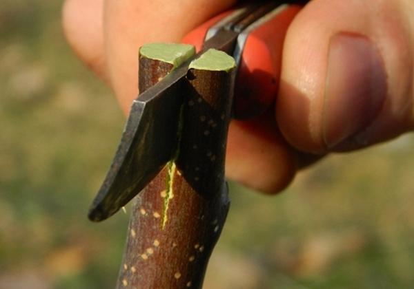 Прививка в расщеп, фото с сайта kostka.by