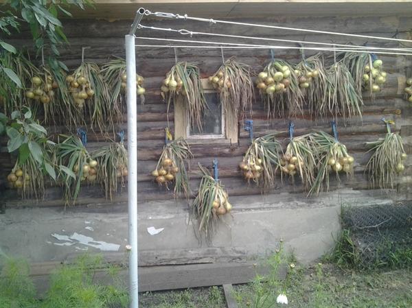 Мой урожай лука. Автор фото: tazhetdinova (елена тажетдинова, Рязань)