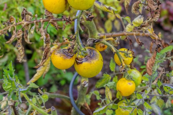 Фитофтороз помидоров